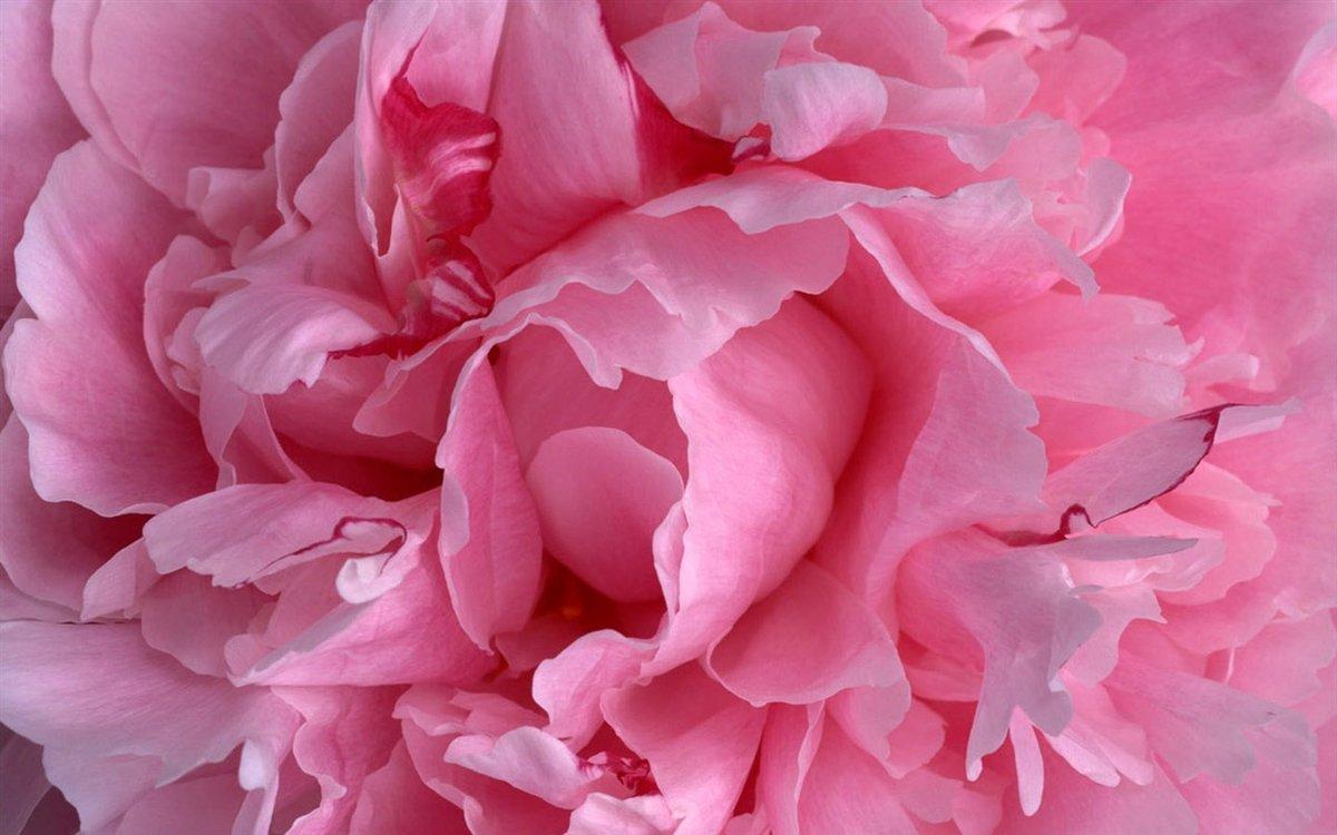 Картинка с розовыми пионами