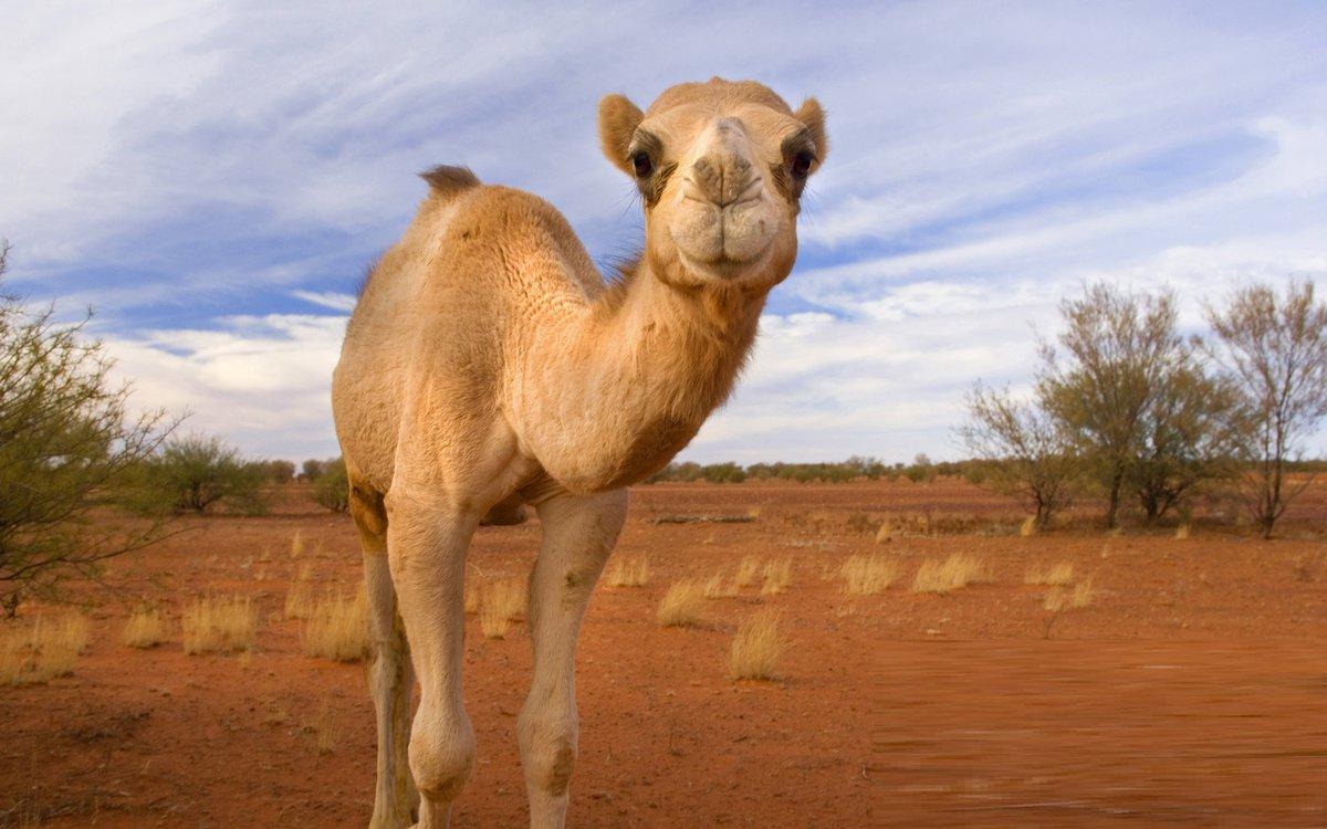 Видео, верблюд в картинках