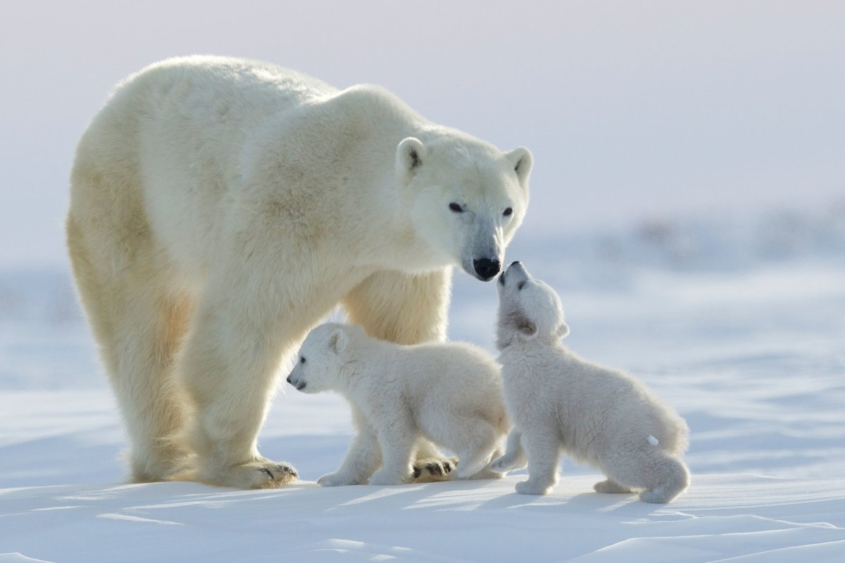 фото белой медведицы с медвежонком интересные факты
