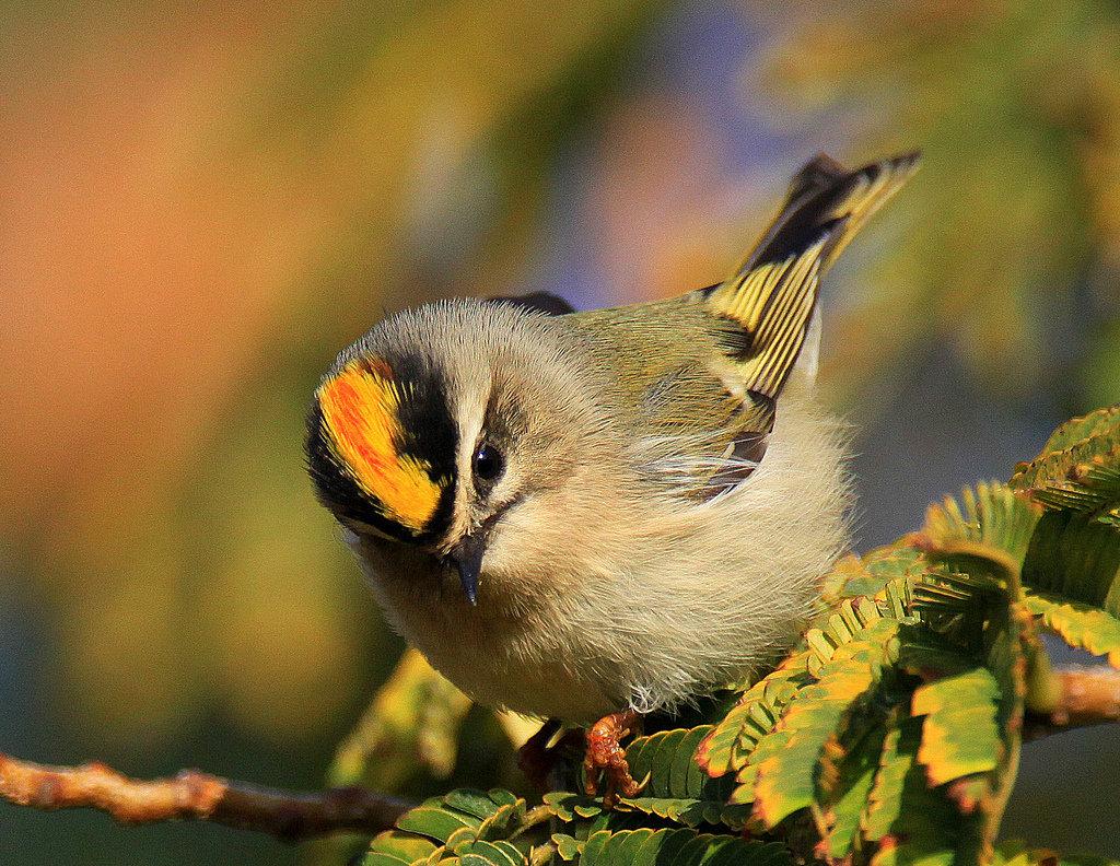 большое фото птицы королек крупным планом окончания школы