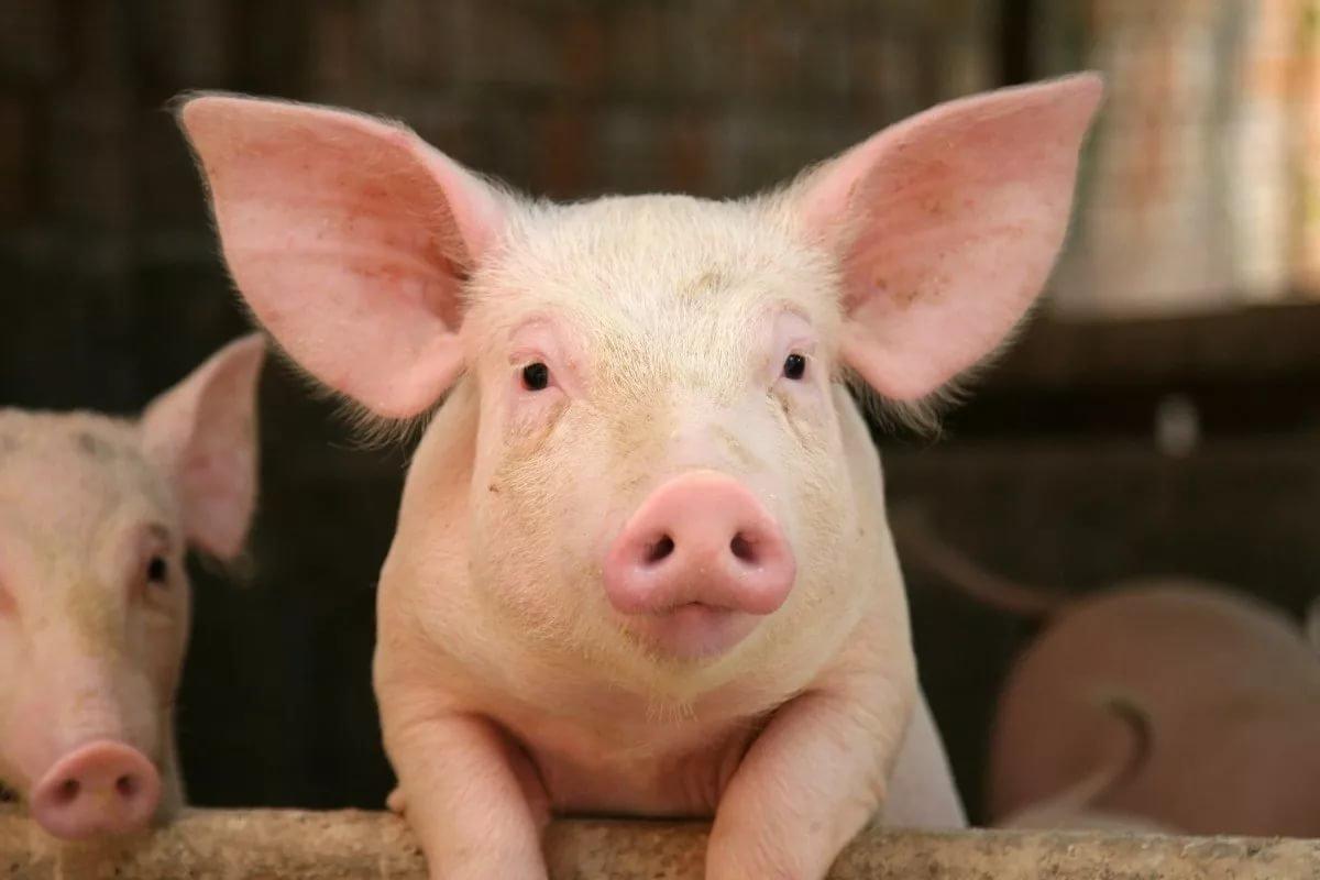Свинья в картинках
