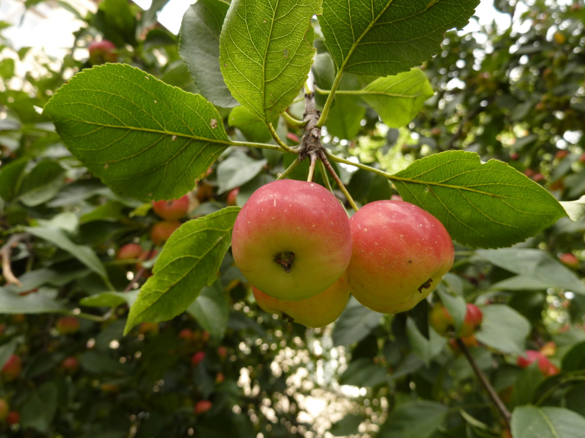 картинки к слову яблоня столы