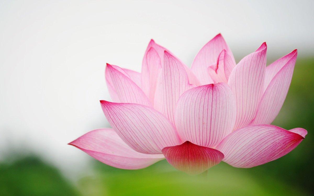 Цветок лотоса открытка