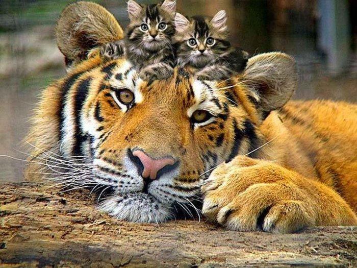 Котята и тигр