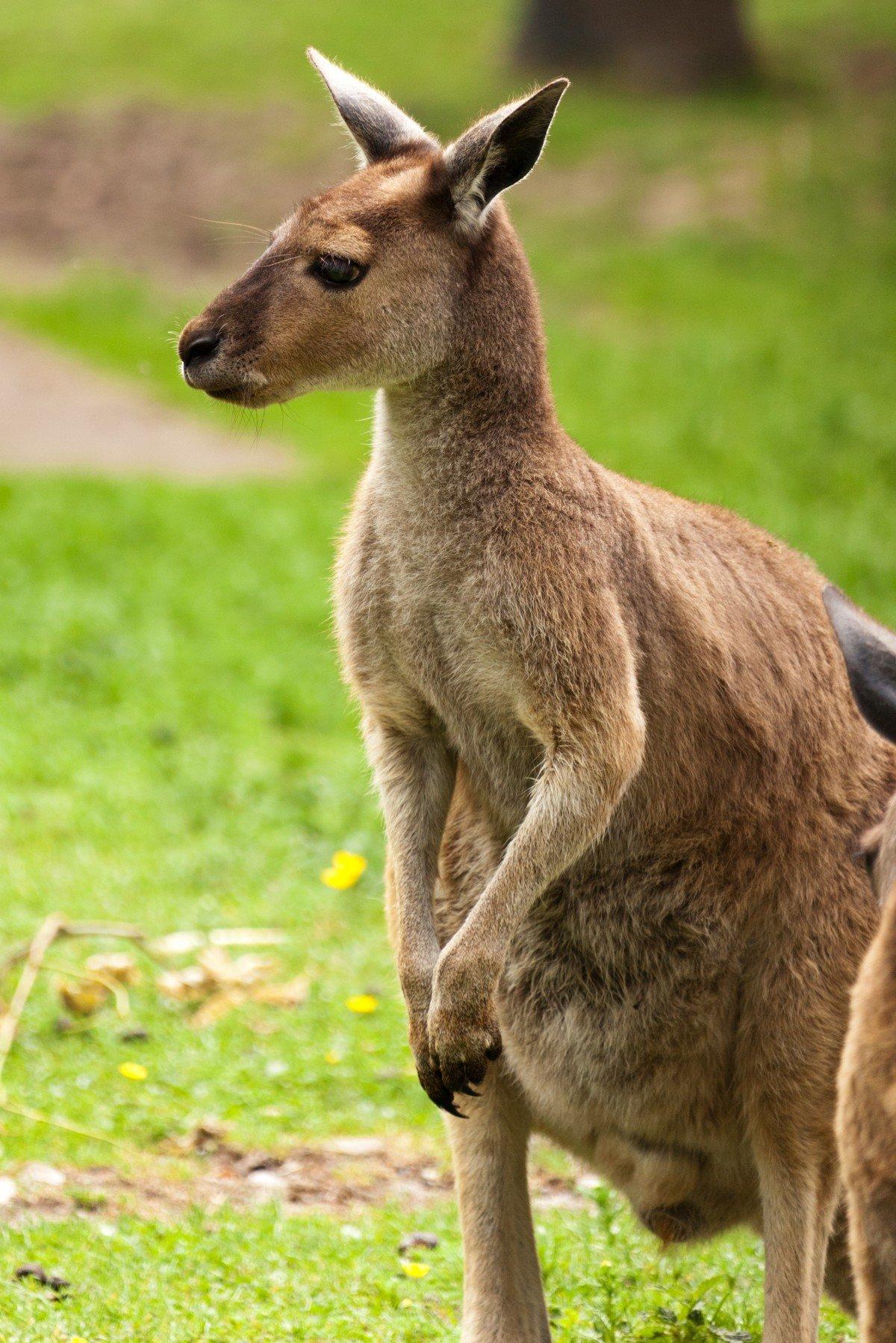 сплава попросил гугл картинки кенгуру романа нойштедтера очень