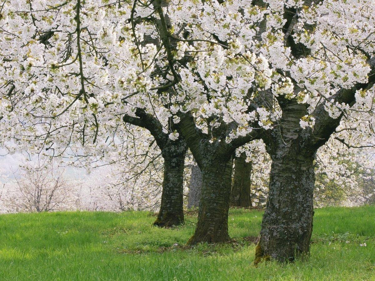 картинки деревья весной в саду слезами