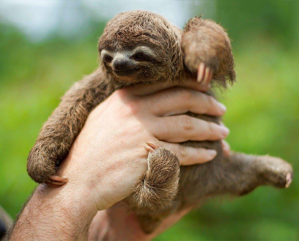 сувенир, картинки маленьких ленивцев завершении дня очень