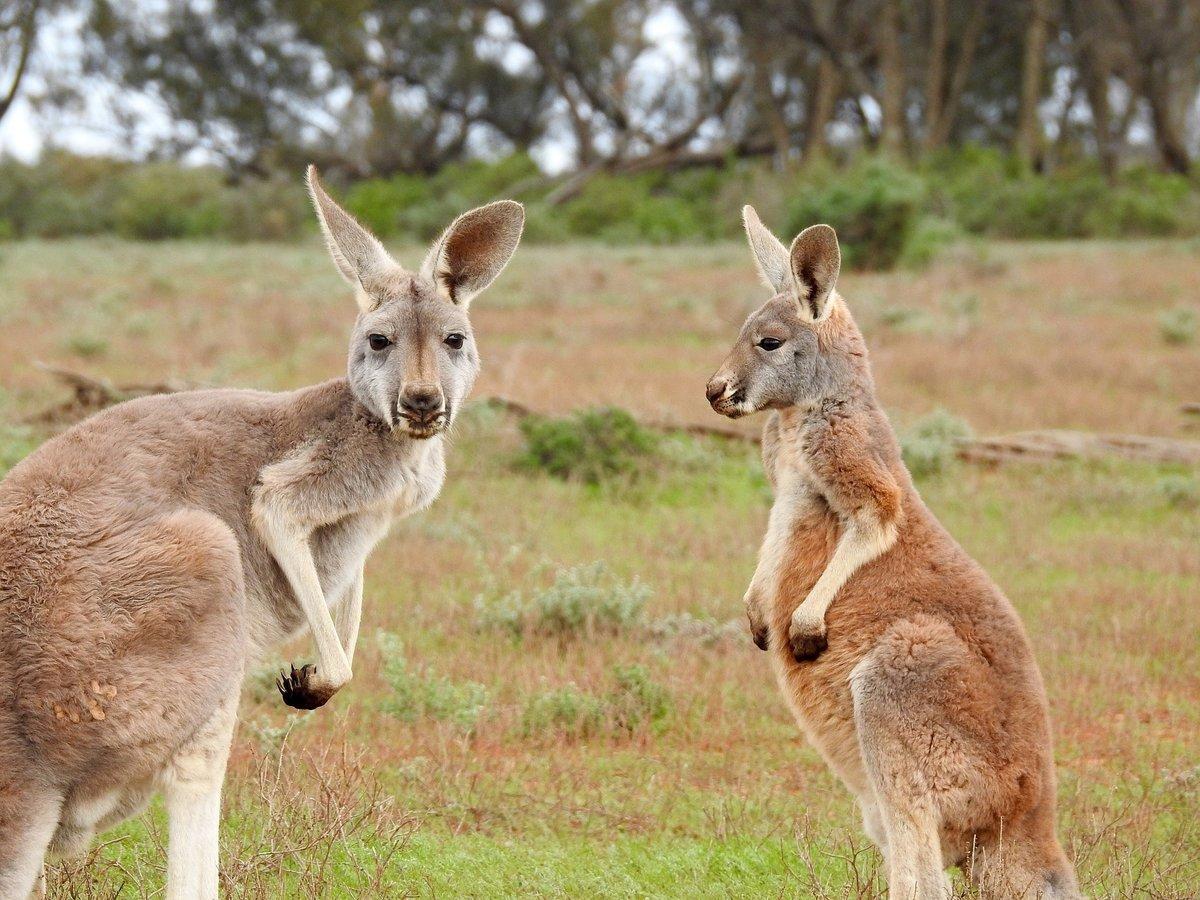 Секс с кенгуру онлайн, Кенгуру секс. Смотреть на сайте online 12 фотография