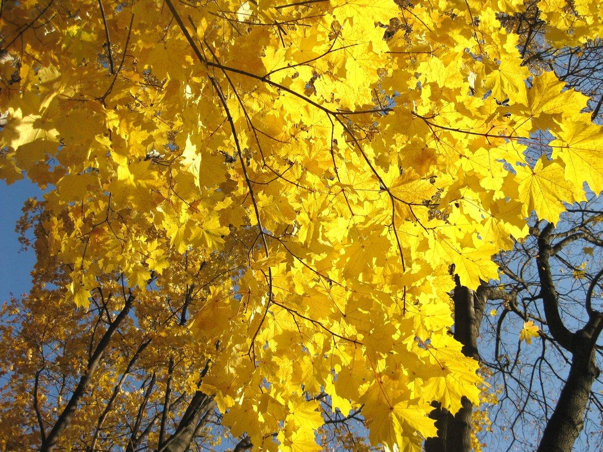 картинки желтый клен