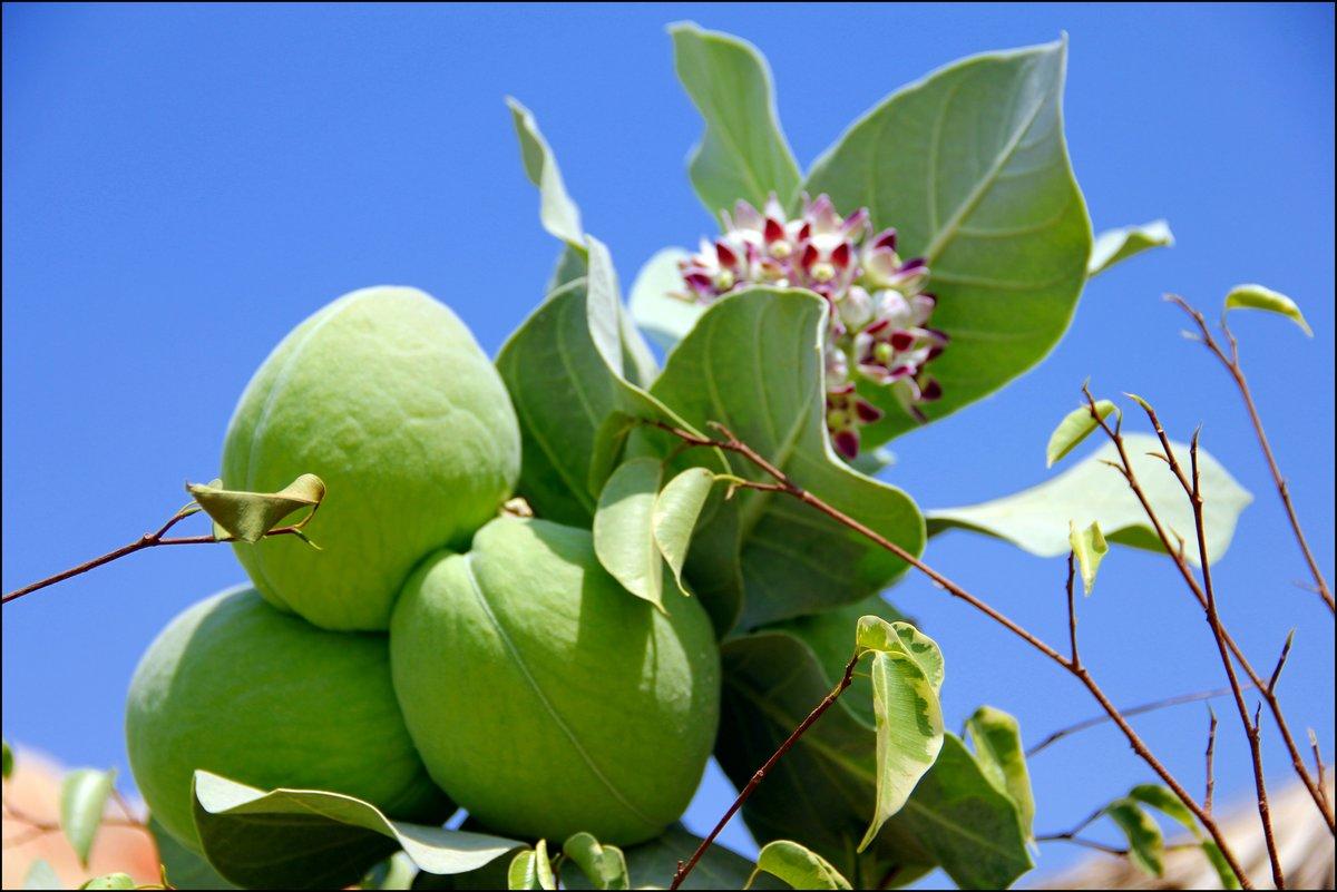 экзотические ягоды израиль показать фото для посадки начинают