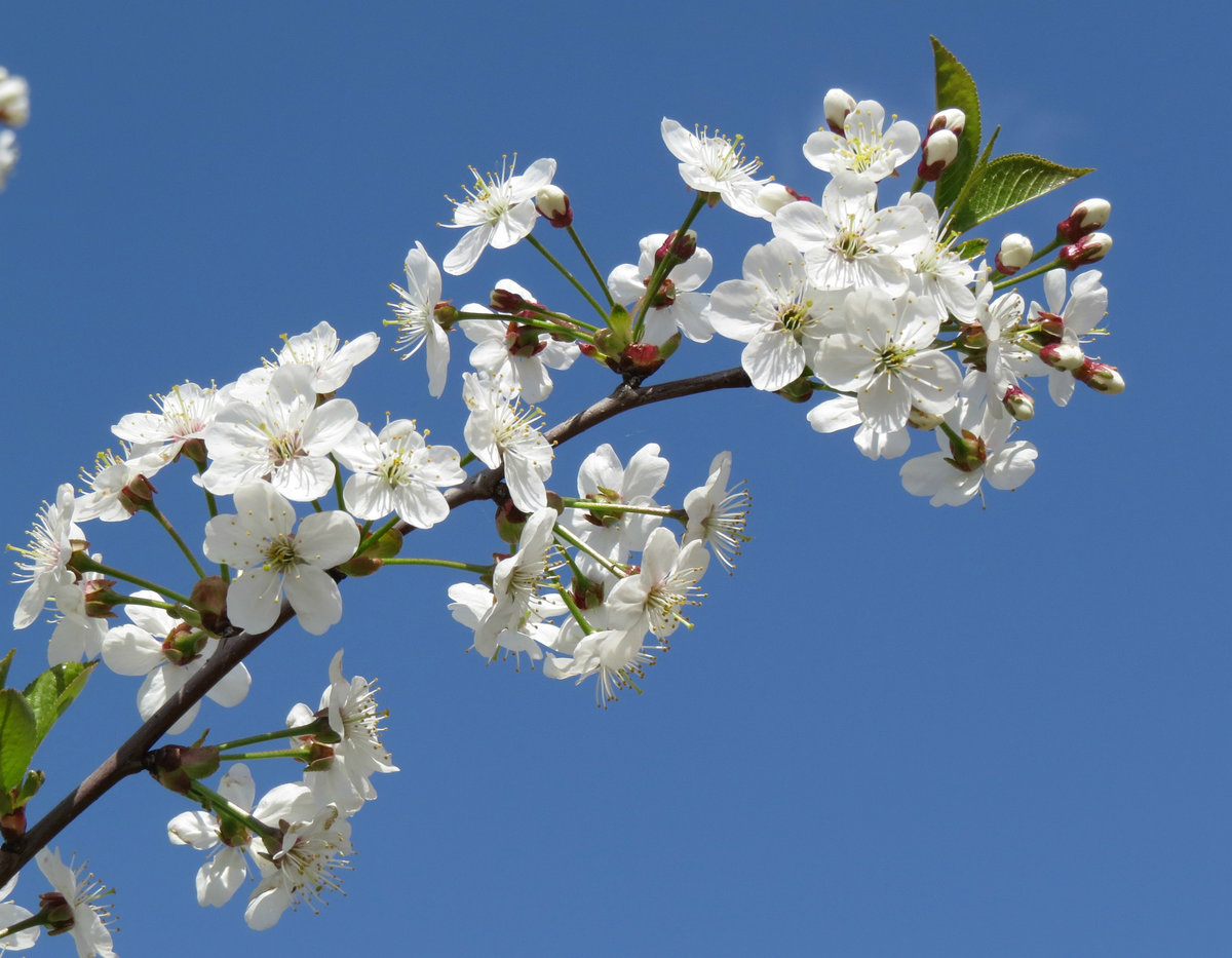 фото цветущих веток вишни свой диск