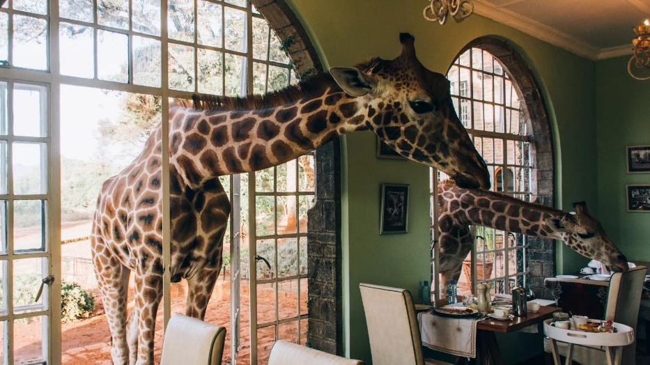 Giraffe Manor. Завтрак с жирафами.