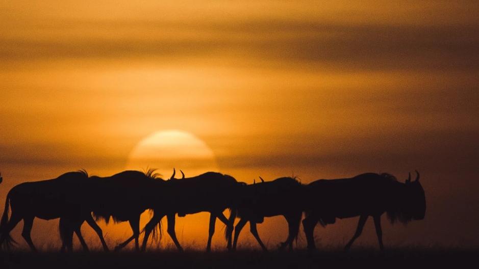 Масаи Мара. Великая миграция животных