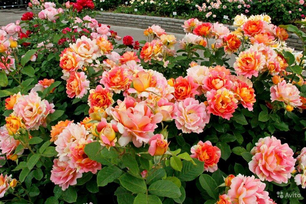 Огромный выбор саженцев роз и плодовых кустарников