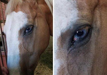 Лошадь с невероятными голубыми глазами / Фото: ©twimg.com