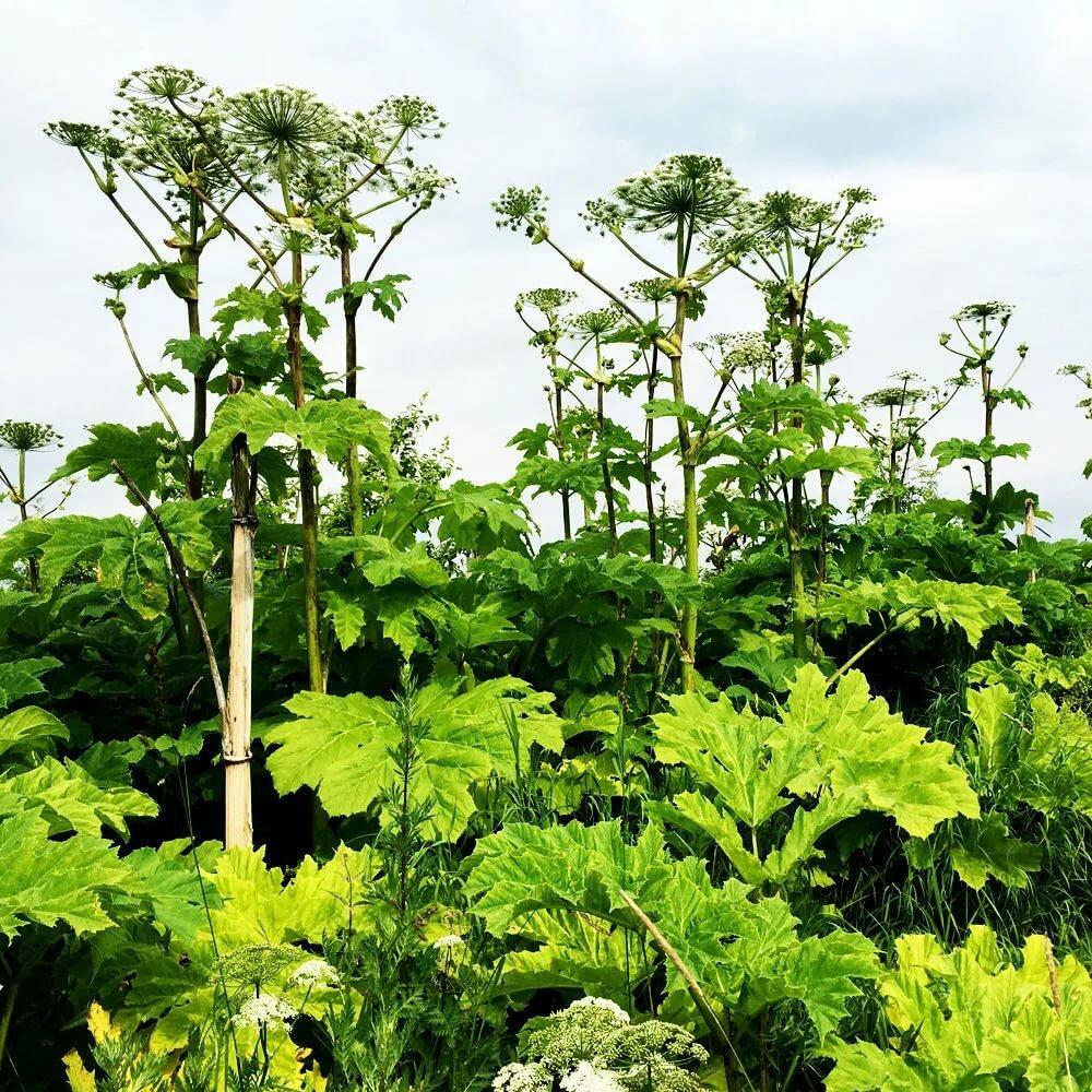 как выглядит борщевик растение фото некоторое время