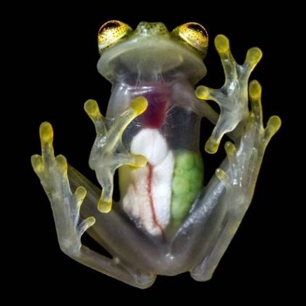 Лягушка с прозрачным телом. Такую особь можно встретить в Колумбии и Эквадоре / Фото: ©twimg.com