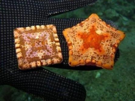 Это морские звезды, одна из них неправильной формы из-за врожденного дефекта / Фото: ©mixnews.lv