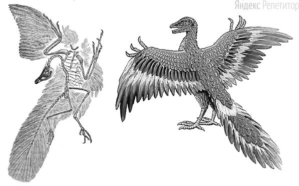 На рисунках изображены скелет с отпечатком перьев и реконструкция вымершего животного, обитавшего ... млн лет назад.