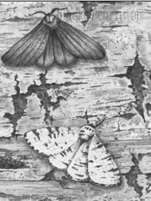 Рассмотрите рисунок с изображением бабочек берёзовой пяденицы и определите тип приспособления, форму естественного отбора и направление эволюции, которые характерны для двух форм бабочек.
