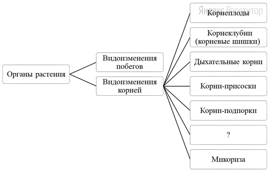 Рассмотрите предложенную схему классификации видоизменений органов растения.