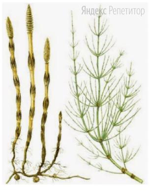 К какому отделу и подотделу относится изображённое на рисунке растение?