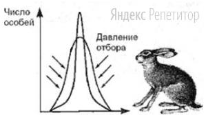 Пользуясь рисунком, определите, какую форму отбора он иллюстрирует и при каких условиях жизни этот отбор будет проявляться.