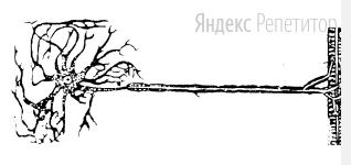 Клетка, изображённая на рисунке, выполняет в организме человека и животных функцию