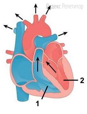 Рассмотрите рисунок схемы сердечного цикла и назовите изображённую фазу. Ответ поясните. В каком состоянии в этот момент находятся клапаны сердца? С какими кругами кровообращения связаны структуры сердца, отмеченные цифрами ... и ...? Укажите сосуды, в которые переходит кровь.