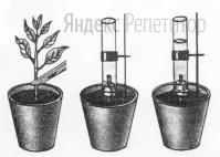 У комнатного растения срезан стебель с листьями, оставлен только пенек высотой 5 см. На пенек надета резиновая трубочка, соединенная со стеклянной.