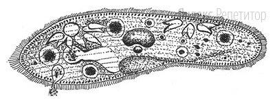 Все перечисленные ниже признаки, кроме двух, используются для описания изображённой на рисунке клетки.