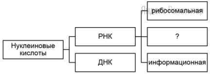 Рассмотрите предложенную схему классификации нуклеиновых кислот.