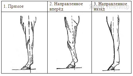 Г. Расположение запястья передней конечности (относительно линии, соединяющей середину локтя с задней частью копыта)