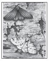 Рассмотрите рисунок с изображением бабочек берёзовой пяденицы и определите тип приспособления, форму естественного отбора и направление эволюции, которые привели к появлению тёмной формы при изменении условий (гибели лишайников). Заполните пустые ячейки таблицы, используя термины, приведённые в списке. Для каждой ячейки, обозначенной буквой, выберите соответствующий термин из предложенного списка.