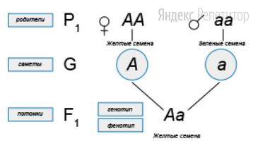 Укажите утверждения, которые верно характеризуют изображённую схему скрещивания.
