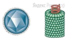 Организмы, изображённые на рисунке,