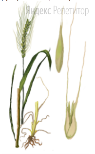 Для растения, изображённого на рисунке, характерны следующие черты: