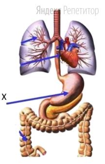Орган, изображённый на рисунке под X, —