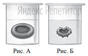 Известно, что концентрация солей в плазме крови соответствует концентрации ... хлорида натрия в физиологическом растворе. В стеклянный стакан, заполненный раствором поваренной соли, поместили эритроциты. Сравните изображения нормального эритроцита в плазме (рис. А) и эритроцита в растворе (рис. Б).