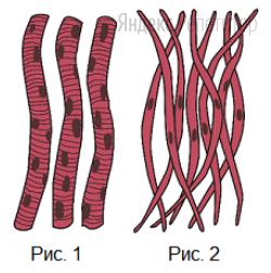 Рассмотрите рисунки с изображением тканей человека и определите название ткани на рис. ... ее функцию, а также одно из свойств ткани на рис. ...