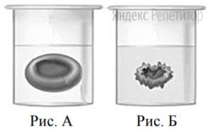 Сравните изображение нормального эритроцита в плазме (рис. А) и эритроцита в растворе (рис. Б). Объясните наблюдаемое явление.