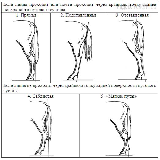 Д. Постановка задних конечностей (относительно линии, соединяющей крайнюю точку задней поверхности седалищного и пяточного бугров)