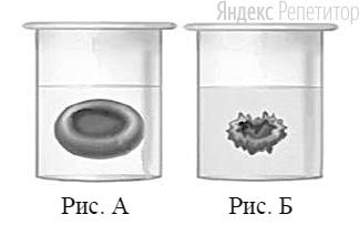 Известно, что в плазме крови концентрация солей в норме соответствует концентрации хлорида натрия .... В стеклянный стакан, заполненный раствором поваренной соли, поместили эритроциты. Сравните изображение нормального эритроцита в плазме (рис. ...) и эритроцита в растворе (рис. ...).