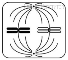 Какая фаза деления клетки изображена на рисунке?
