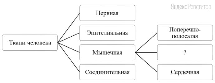 Рассмотрите предложенную схему классификации тканей человека.
