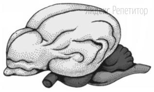 Если в процессе эволюции у животного сформировался головной мозг, изображённый на рисунке, то для этого животного характерны