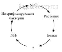Используя упрощенную схему круговорота нитрогена в экосистеме, определите группу бактерий, которые участвуют в превращении белков в аммиак (...).