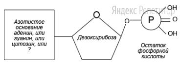 Рассмотрите предложенную схему строения нуклеотида ДНК.