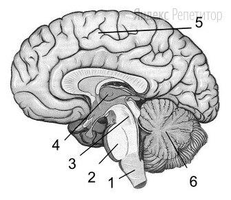 Выберите три верно обозначенные подписи к рисунку «Строение головного мозга человека».