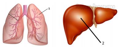 Рассмотрите изображения внутренних органов человека и проанализируйте их сравнительную характеристику, приведенную в таблице.